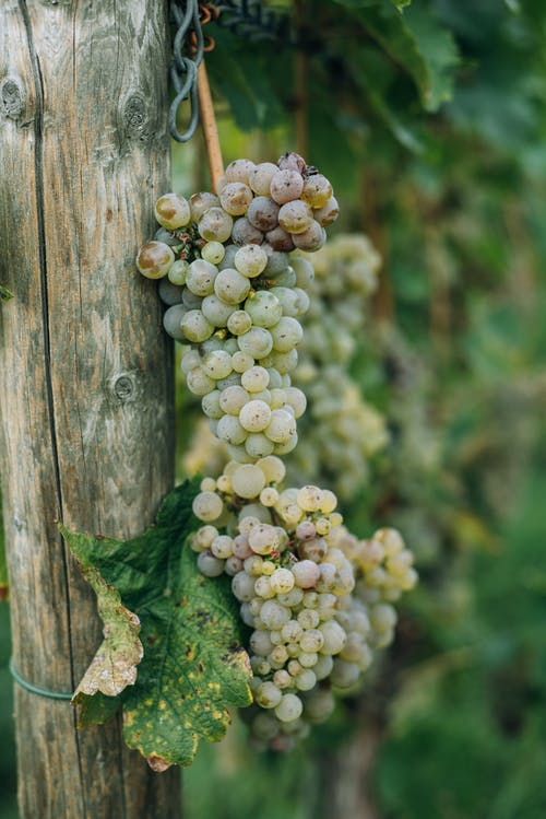 Green grape bunches hanging on wooden log in vineyard plantation in summer day