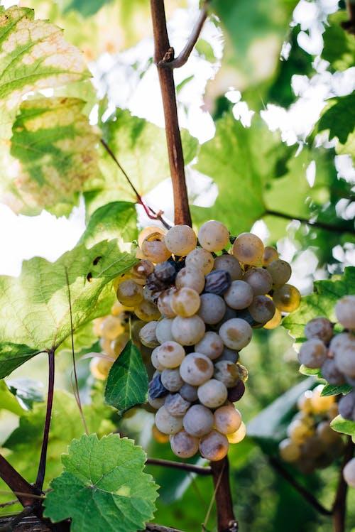 Ingyenes stockfotó ág, bor, borszőlő, csokor témában