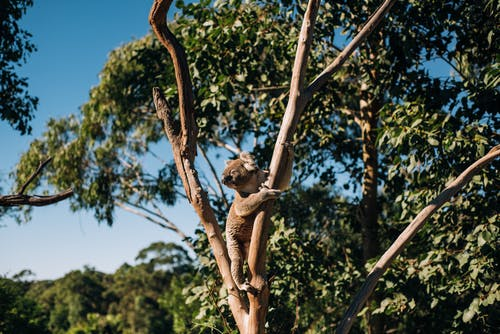 Wild koala bear sitting on leafless wood in green forest under bright sunlight