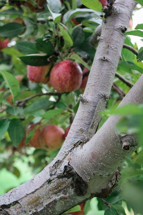 Бесплатное стоковое фото с apple, вегетарианский, вертикальный