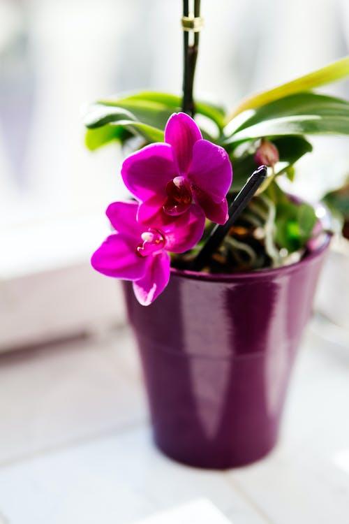 kvet, orchidea