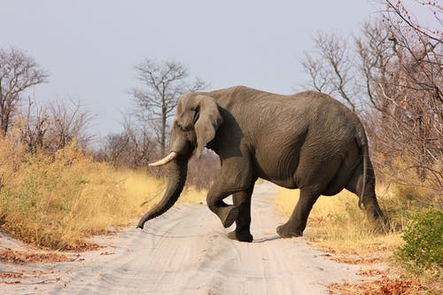 Elephant Crossing Dirt Road