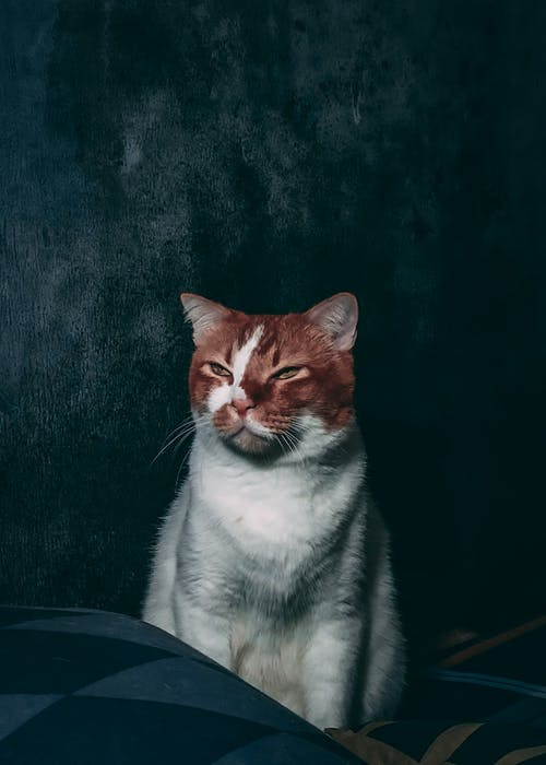 Adorable white fluffy cat with ginger muzzle sitting on comfortable couch and closing eyes partly while looking away