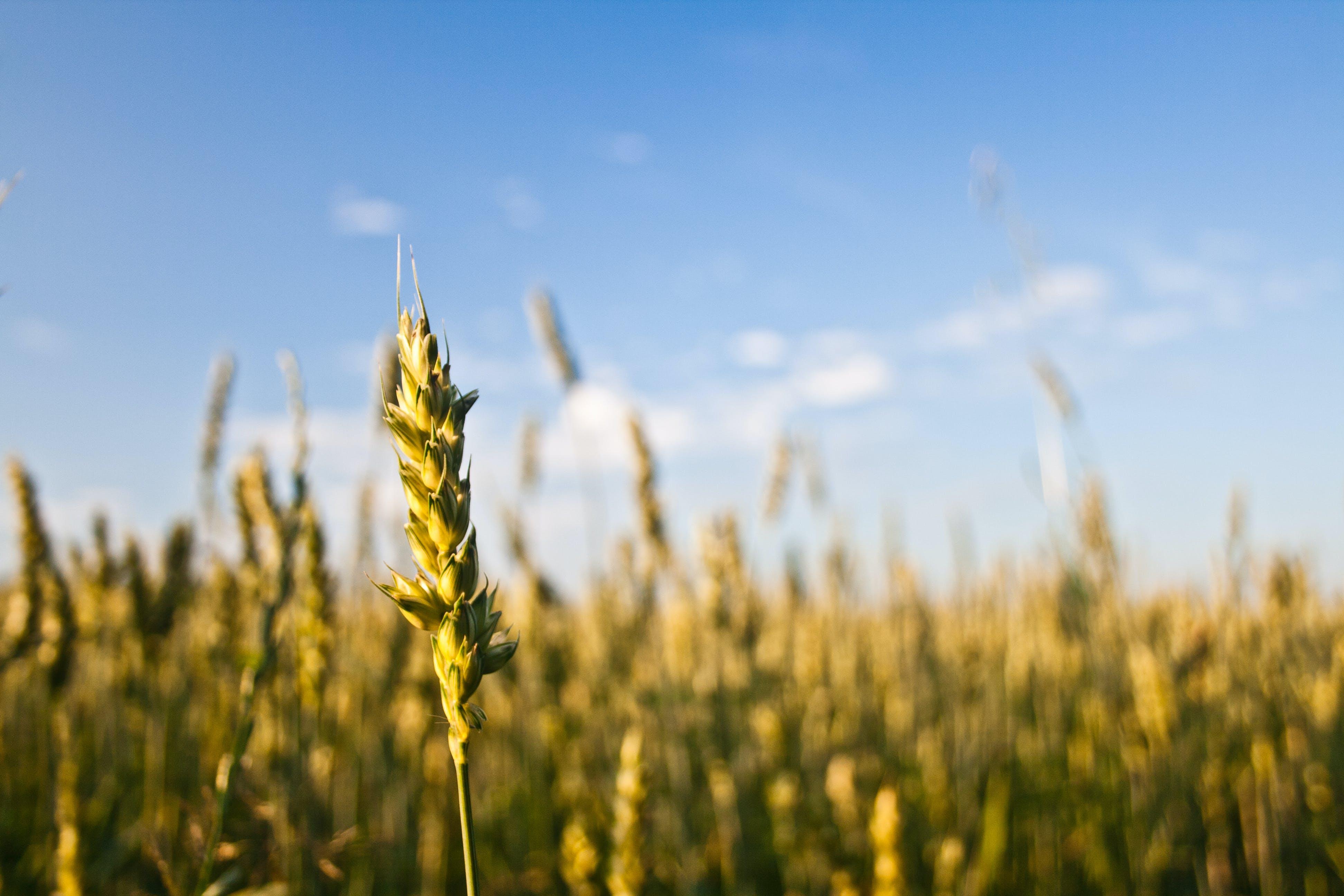Kostenloses Stock Foto zu natur, feld, korn