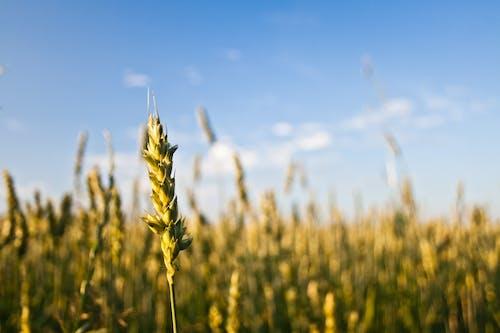 Foto stok gratis alam, bidang, biji-bijian