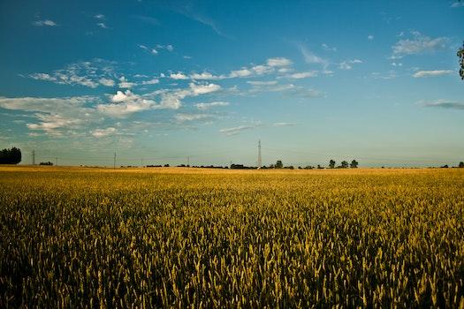Big field of grain
