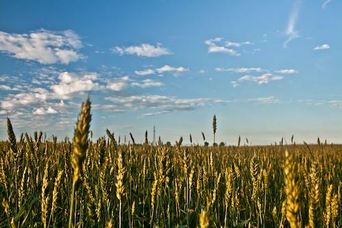 Безкоштовне стокове фото на тему «зерно, навколишнє середовище, небо, поле»