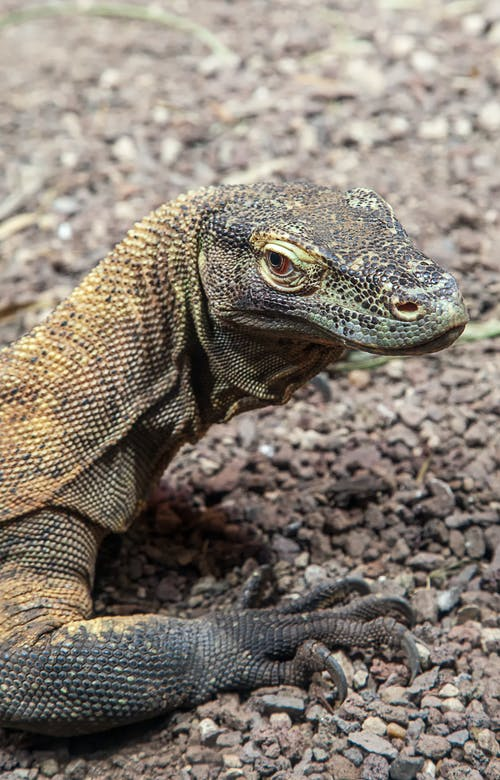 Brown and Gray Lizard on Brown Soil
