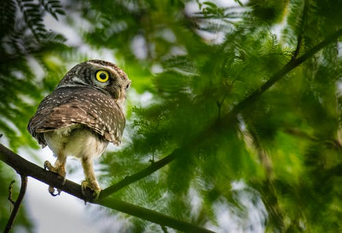 Attentive spotted owlet with bright yellow eyes sitting on branch of green tree in nature in daylight
