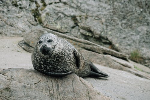 Gray seal resting on rocky shore