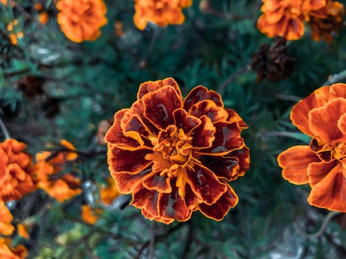 From above of blooming aromatic marigolds with orange petals growing in garden in daytime