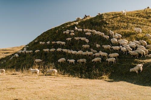 Gregge Di Pecore Sul Campo Di Erba Verde
