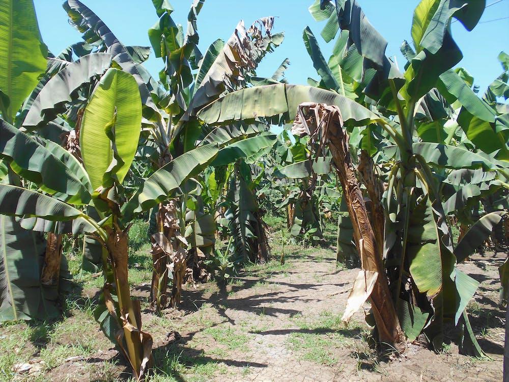 Free stock photo of banana leaves, green