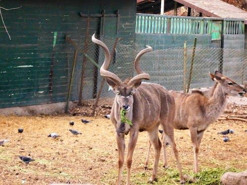 Free stock photo of animal, deer, zoo