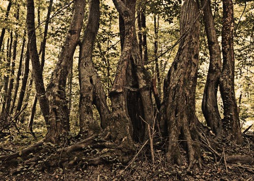 Shabby aged trunks of trees with roots growing together on glade in peaceful woods
