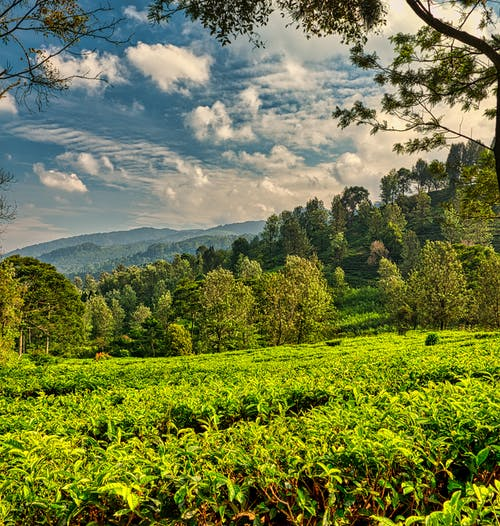 Green tea plantation against hill covered with trees in sunny day