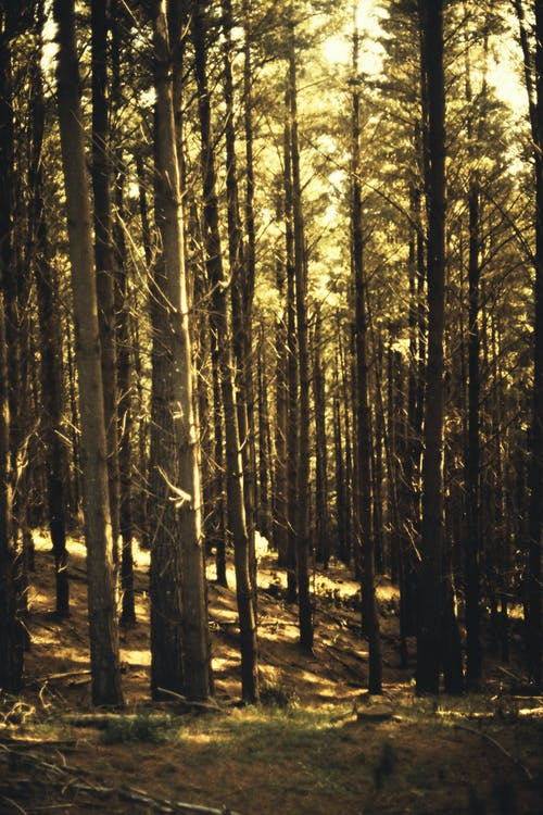 Brown Trees in Forest