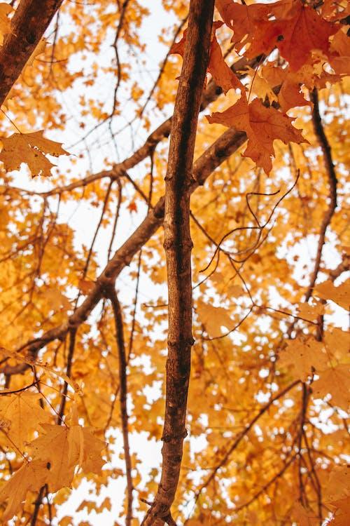 Brown Maple Tree