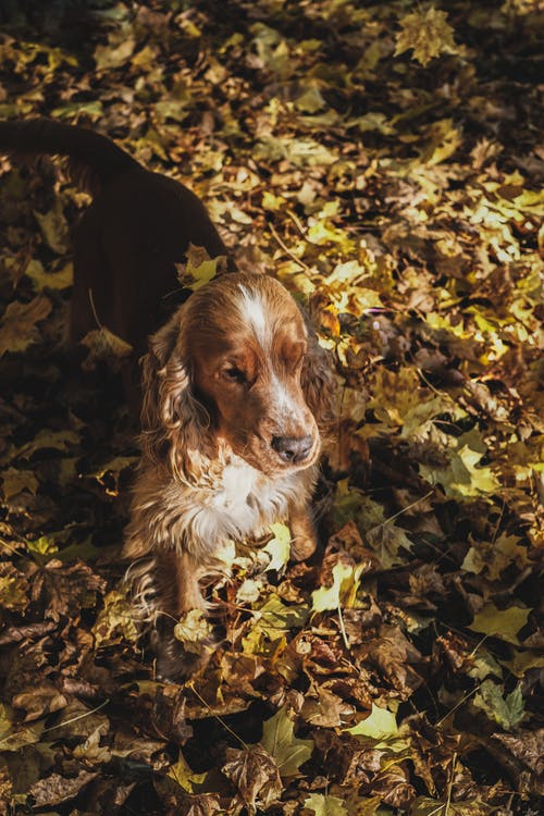 Brown and White Long Coated Dog on Dried Leaves