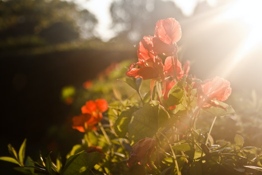 Red flowers & sunset light