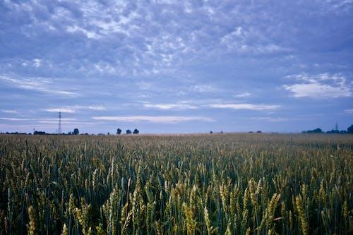 玉米, 田, 糧食, 農地 的 免費圖庫相片