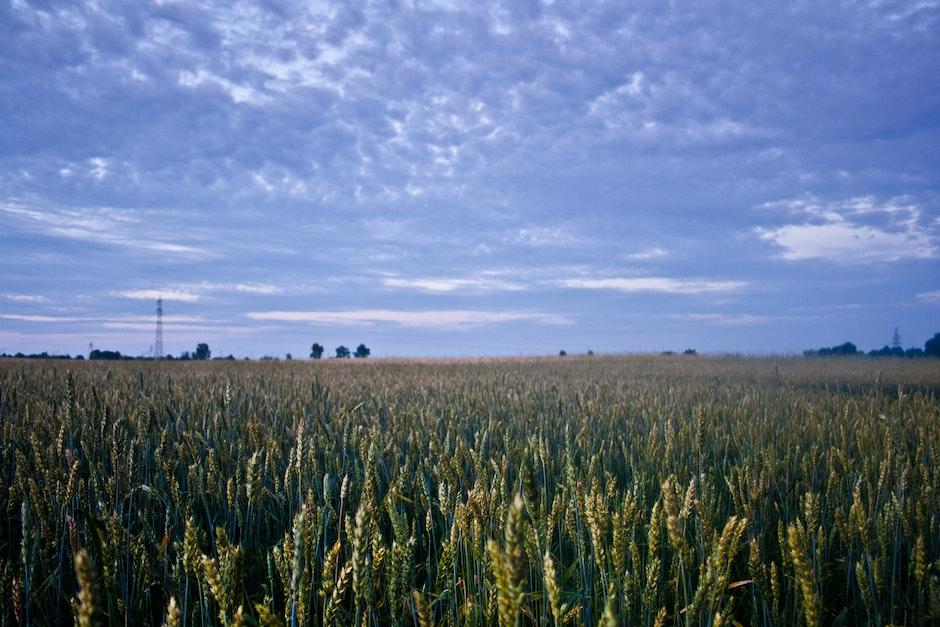 Corn field before night
