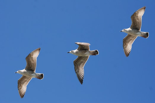 3 White Birds Flying Under Blue Sky