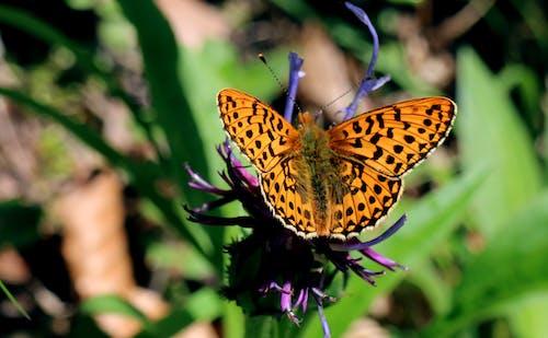 Základová fotografie zdarma na téma boloria selene, hmyz, hnědá skvrna, motýl