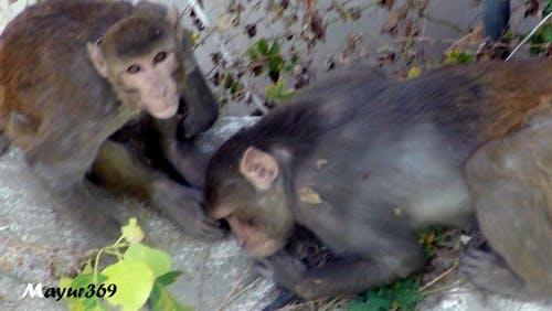 Free stock photo of monkey, monkey sitting, monkeys