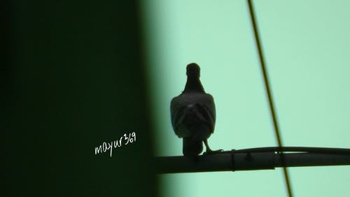 Free stock photo of pigeon, solo