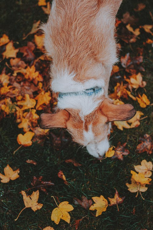 Cute dog smelling autumn leaves on lawn