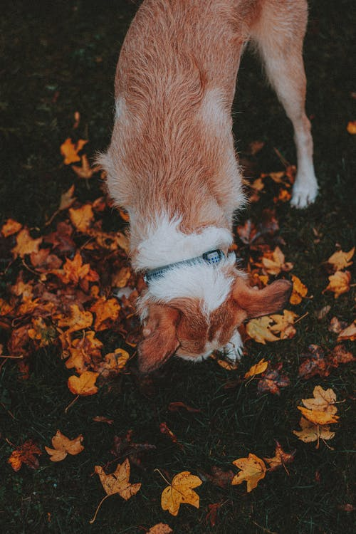 Cute dog sniffing colorful maple leaves on meadow