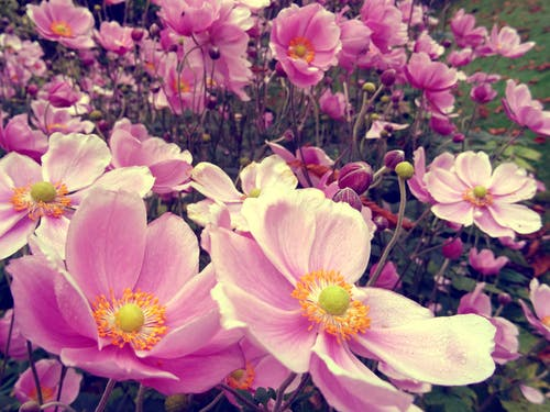 Close-up Photo of Pink Petaled Flower Field