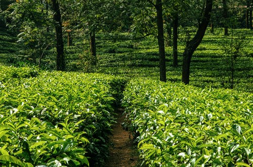 Green bushes of tea growing in countryside in daylight