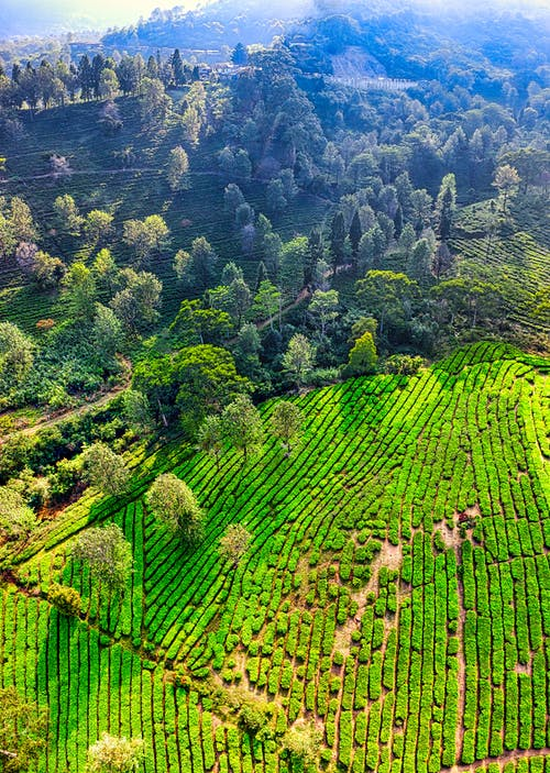 Drone view of narrow paths going through green plantation near forest with lush green trees