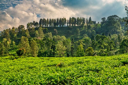 Tea fields in hills with trees