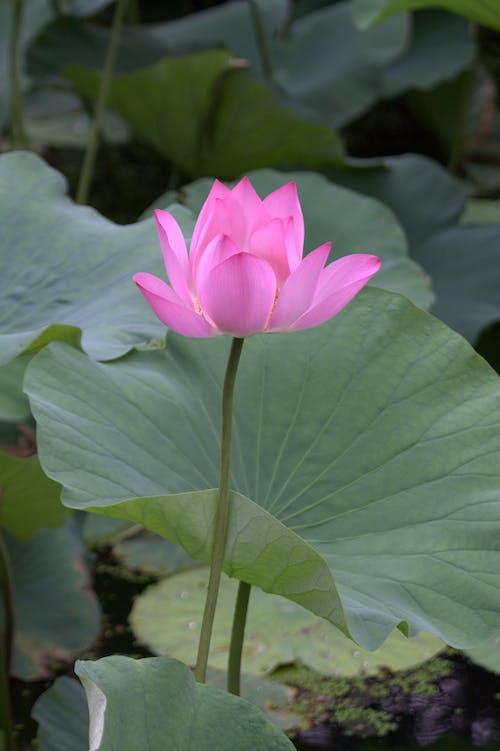 คลังภาพถ่ายฟรี ของ ดอกบัว, ดอกไม้