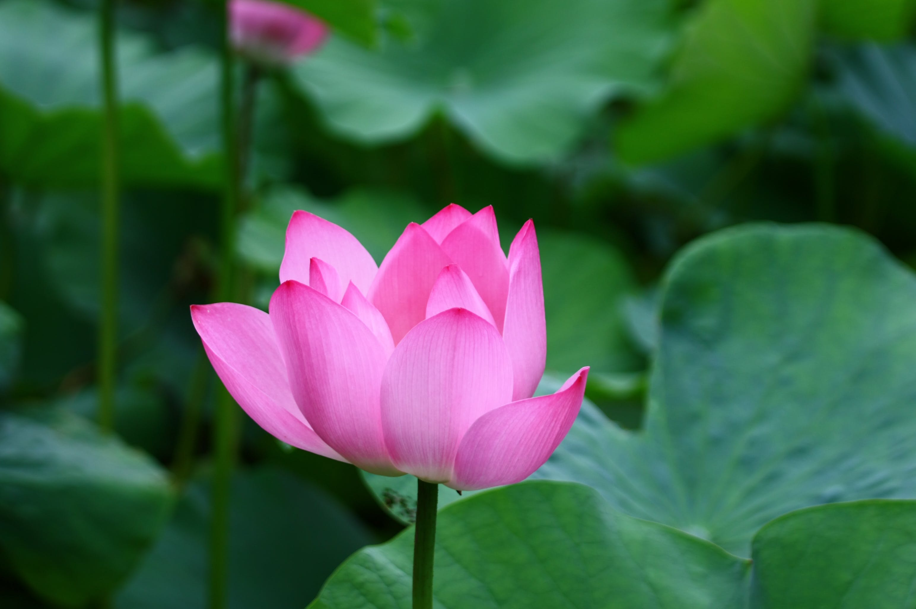 Free stock photo of flower, lotus