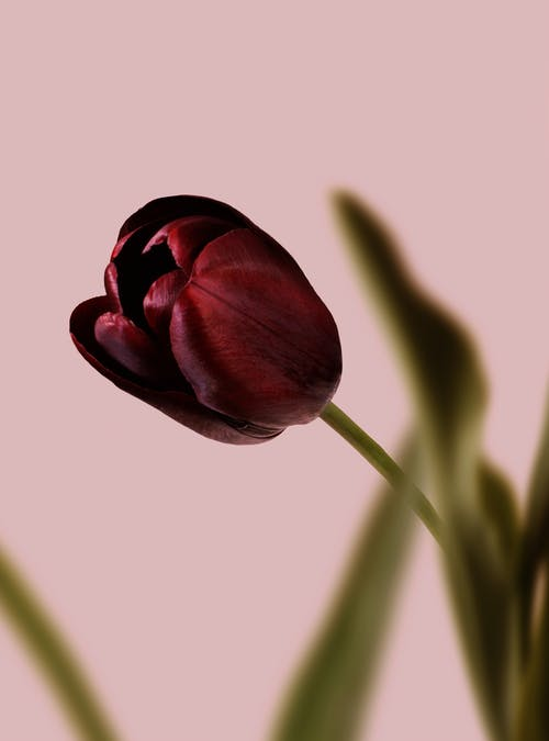 Purple Tulip in Bloom Close Up Photo