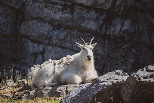 White Mountain Goat on Rocky Ground