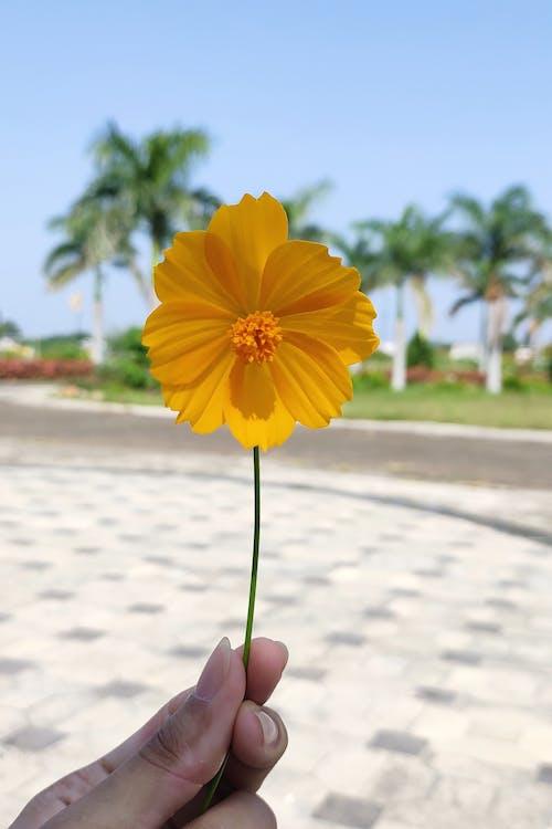 Free stock photo of flower, fresh, golden