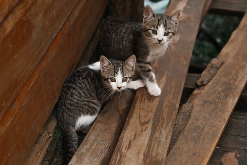 Silver Tabby Cat on Brown Wooden Fence