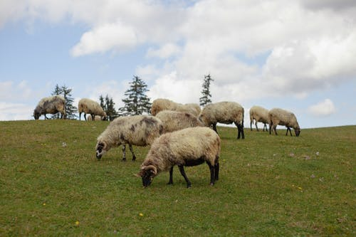 Herd of Sheep on Green Grass Field Under White Clouds and Blue Sky