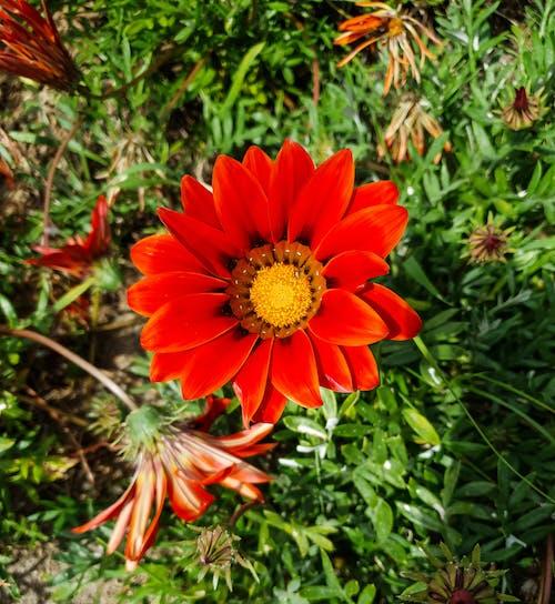 Gratis arkivbilde med rød gazania blomst