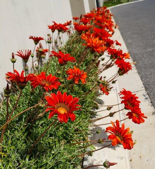 Kostnadsfri bild av röda gasanier på trottoaren