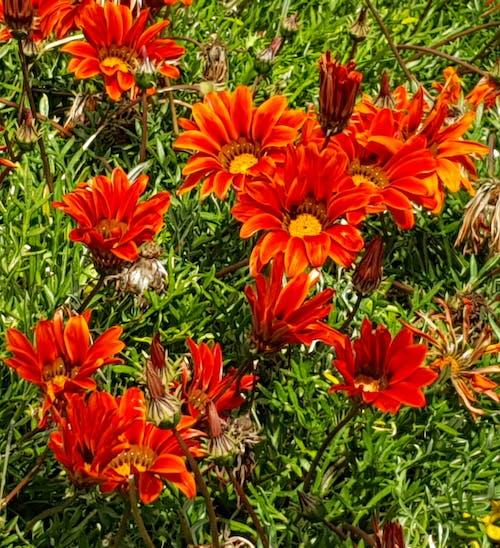 Gratis arkivbilde med røde gazanias vokser om våren