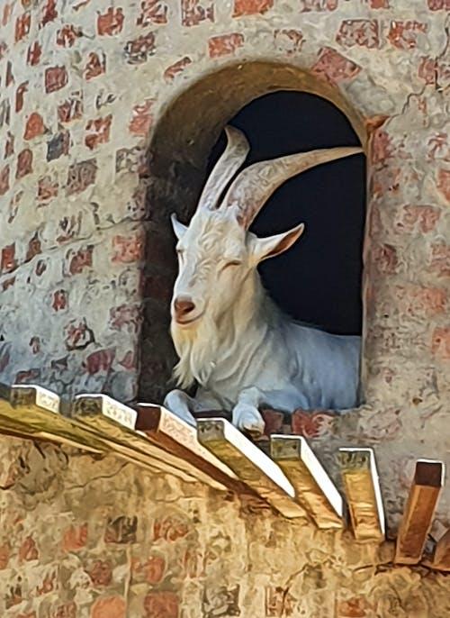 Gratis arkivbilde med geit i tårnet