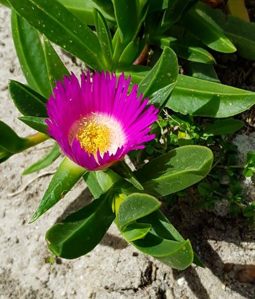 Kostnadsfri bild av rosa blomma på suckulent växt