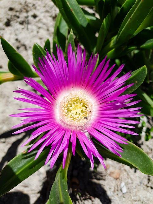 Gratis arkivbilde med rosa blomst på saftige om våren
