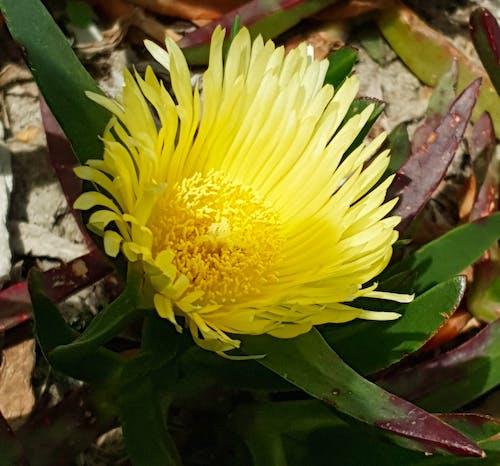 Kostnadsfri bild av gul blomma på suckulent växt på våren